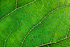 Texture of green leaf and veins. Close up view of green leaf and veins Stock Photo