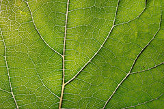 Texture of green leaf and veins Stock Image