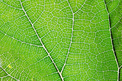 Texture of green leaf and veins Stock Images
