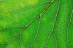 Texture of green leaf and veins Royalty Free Stock Photo