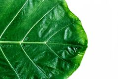 Texture of a green leaf on white background. Green leaves plant. Growing in wild, the tropical forest plant, blank / empty space for creative design i.e. banner Stock Photos