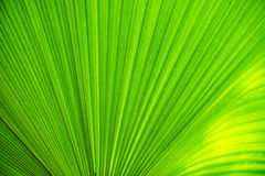 Texture of green leave Royalty Free Stock Image