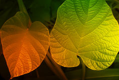 Texture of green leaves, filtered image Stock Images