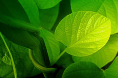 Texture of green leaves Royalty Free Stock Photography