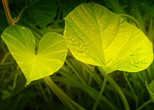 Texture of green leaves Stock Image