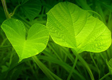 Texture of green leaves Stock Images