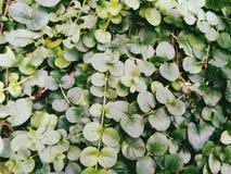 Texture of green leaves, summer, Kiev Stock Image