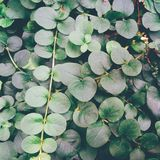 Texture of green leaves, summer, Kiev Stock Images