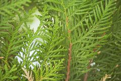Texture green leaves thuja orientalis or pine tree branch for background close-up soft focus.  Royalty Free Stock Photo