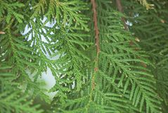 Texture green leaves thuja orientalis or pine tree branch for background close-up soft focus.  Stock Photos