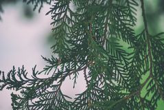 Texture green leaves thuja orientalis or pine tree branch for background close-up soft focus.  Royalty Free Stock Photos