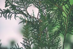 Texture green leaves thuja orientalis or pine tree branch for background close-up soft focus.  Stock Images