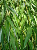 Texture green leaves of willow tree. Texture of vertically arranged elongated green leaves of weeping willow tree branches Stock Photos