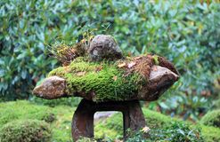 Texture of green lichen moss on the rock in the garden. Royalty Free Stock Photography
