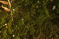 Texture of green moss with some rubbish on it.  Stock Photo
