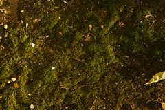 Texture of green moss with some rubbish on it.  Royalty Free Stock Image