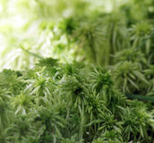 Texture green moss Sphagnum Bryophyta. After rain in the forest Royalty Free Stock Photos