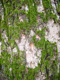 Texture green moss on a tree bark Royalty Free Stock Photos