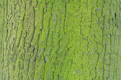 Texture of green old mossy tree bark Stock Photography