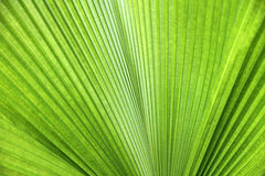 Texture of green palm leaf Royalty Free Stock Photos