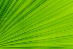 Texture of Green palm Leaf.  Royalty Free Stock Photos
