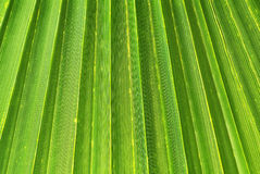Texture of Green palm Stock Photo