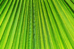 Texture of Green palm Stock Photos