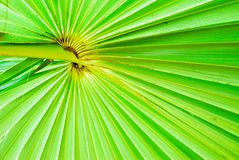 Texture of green palm leaf background Royalty Free Stock Photos