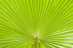 Texture of Green palm Leaf Stock Photos