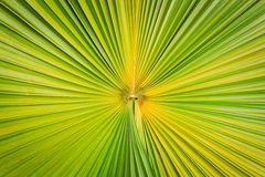 Texture of green palm leaf for background Stock Image