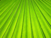 Texture of Green palm Leaf background Stock Photo