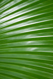 Texture of green palm Leaf for background Royalty Free Stock Photography