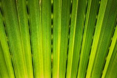 Texture of Green palm Leaf. Closeup Stock Image