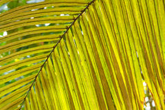 Texture of Green Palm Leaf Pattern Backround Stock Photo