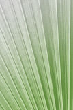 Texture of Green palm Leaf on softlight monotone Stock Photography