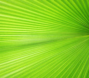 Texture of Green palm Leaf Royalty Free Stock Photography
