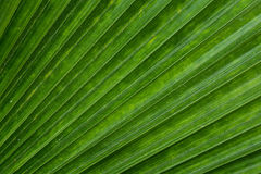 Texture of green palm leaves. Lines and texture of green palm leaves royalty free stock photos