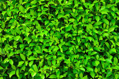 Texture of green plant Stock Photography