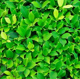 Texture of green plant Stock Image