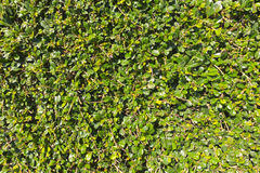 Texture of green plant background Stock Photography