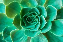 Texture of A Green Succulent Plant. Image of a green succulent plant (echeveria) taken from above for abstract background stock image