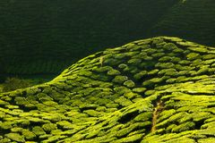 Texture of green tea farm. At Cameron highlands in Malaysia Royalty Free Stock Image