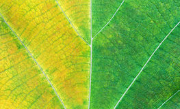 Texture of a green and yellow leaf Stock Images