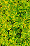 Texture of green and yellow leaves plant Royalty Free Stock Photos