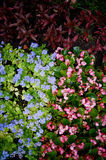 Texture of groundcover plants and flowers. Blue pink green leaves. The texture of groundcover plants and flowers. Blue and pink flowers and green leaves stock images