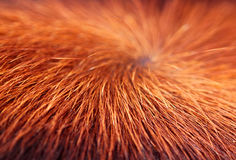 Texture of a hairy cow skin surface Royalty Free Stock Photo