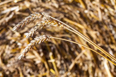Texture of hay, close up Stock Photography