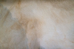 Texture of horse skin. Texture and pattern of white white horse skin Royalty Free Stock Photo