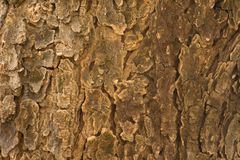 Texture indica d'écorce d'Azadirachta d'arbre de Neem Photos stock