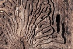 The texture of the outer surface of pine bark damaged by insect pests. The texture of the inner surface of pine bark damaged by insect pests royalty free stock photography